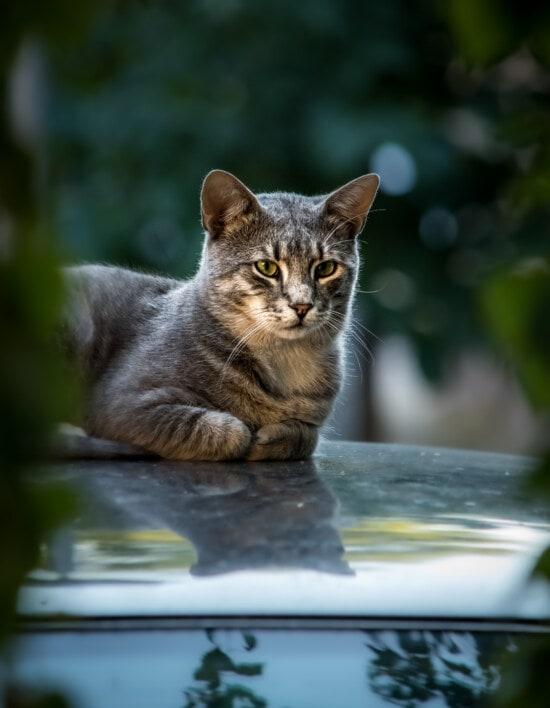 gestreifte Katze, Hinlegen, automotive, posiert, katze, Tier, Pelz, niedlich, Hauskatze, Kätzchen