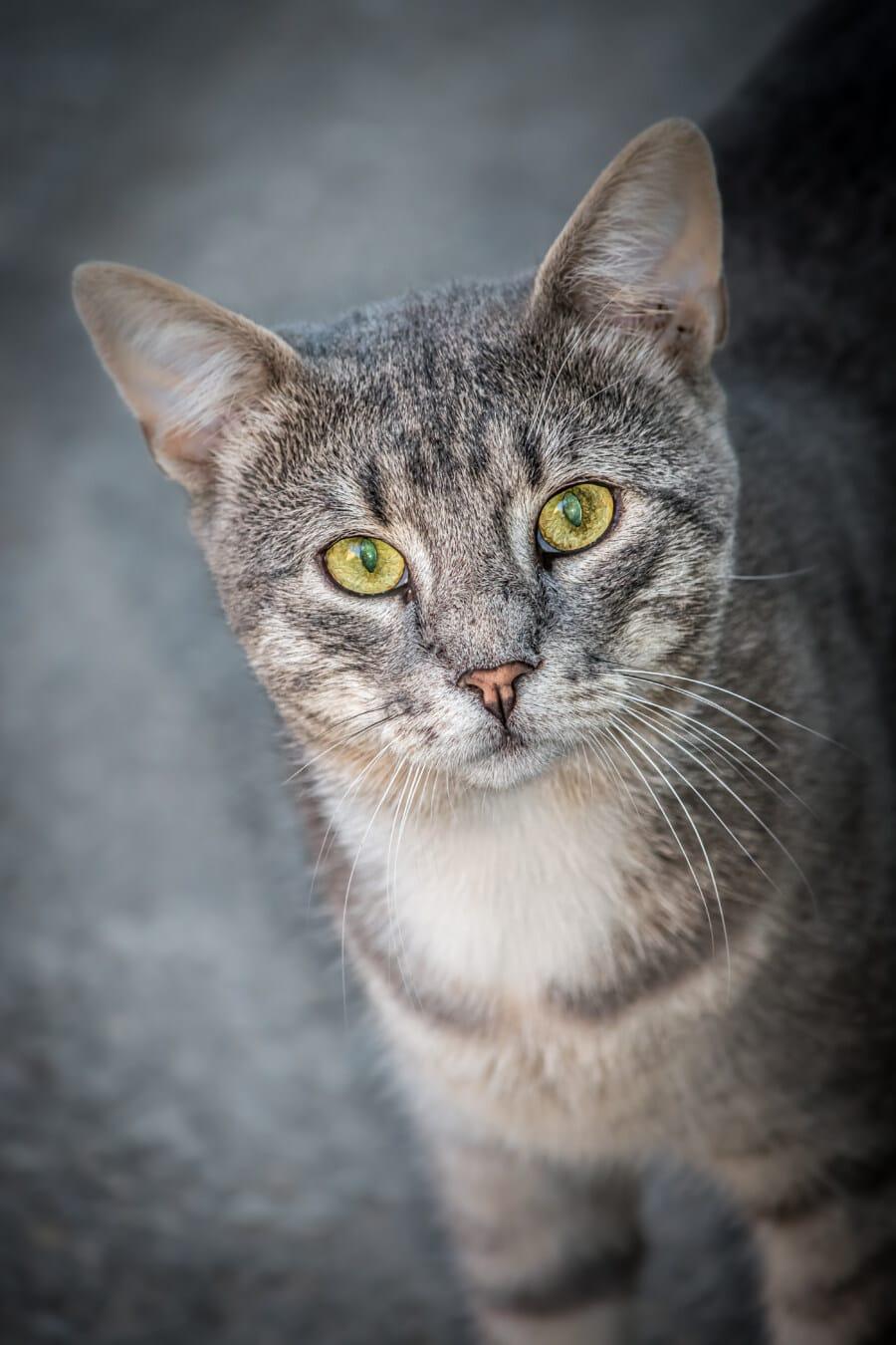 портрет, величествен, очите, домашна котка, лъскава котка, едър план, главата, котка, мустак, домашен любимец