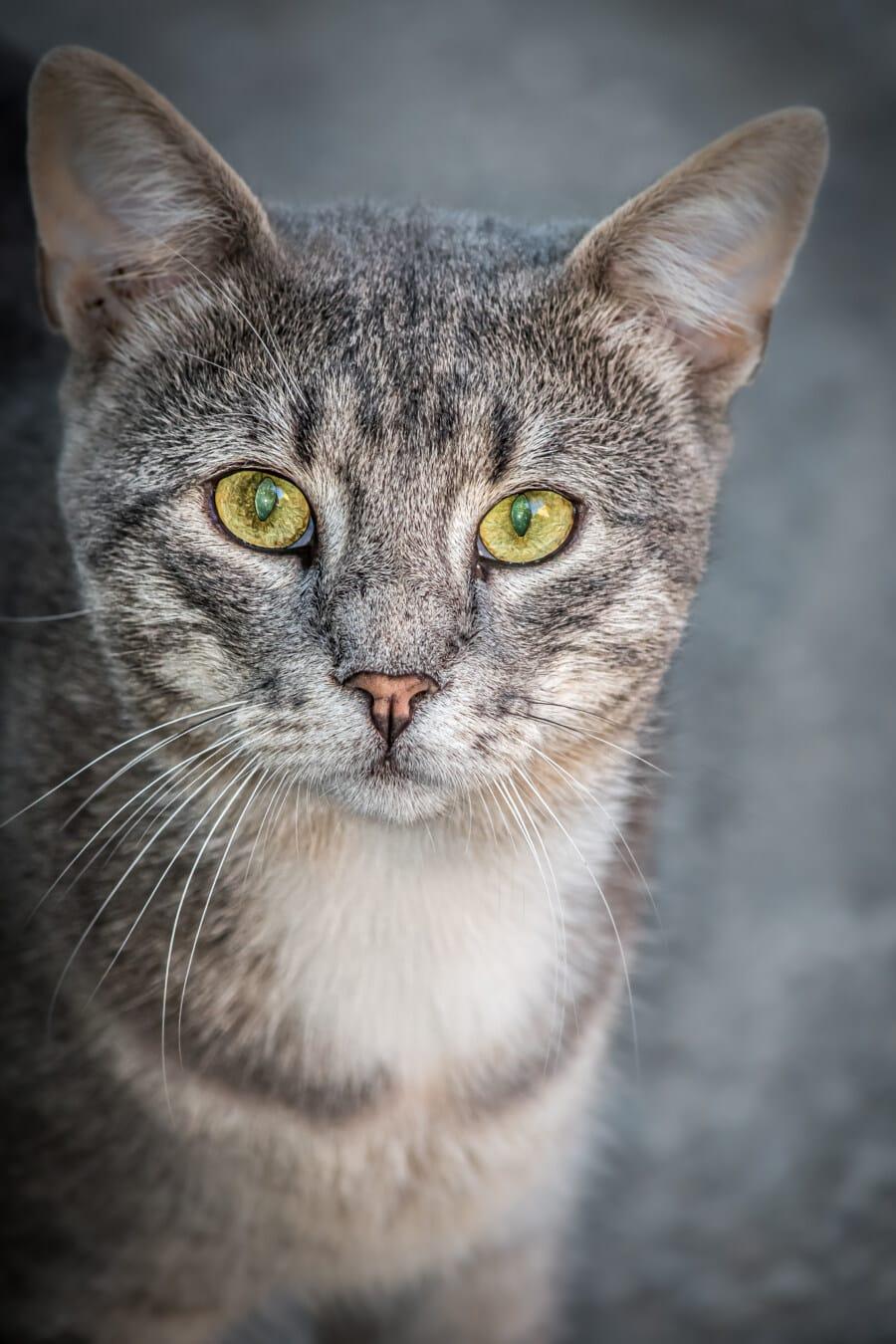 randig katt, ögon, gröngult, näsa, porträtt, huvud, nyfiken, tittar just nu, hår, Söt