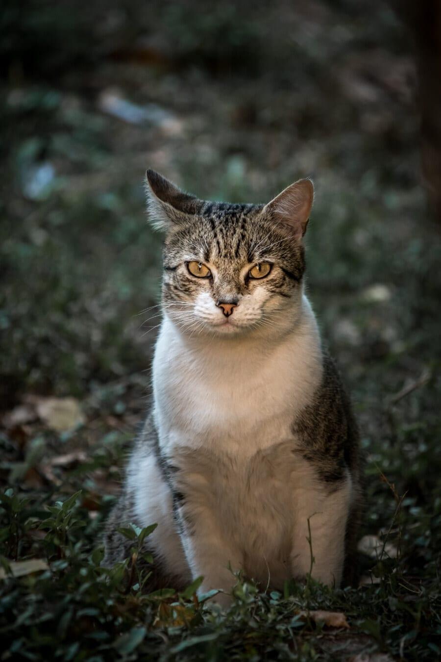 Reifen, liebenswert, Hauskatze, sitzen, Gras, Babyschuhe, gestreifte Katze, katzenartig, Whiskers, Pelz
