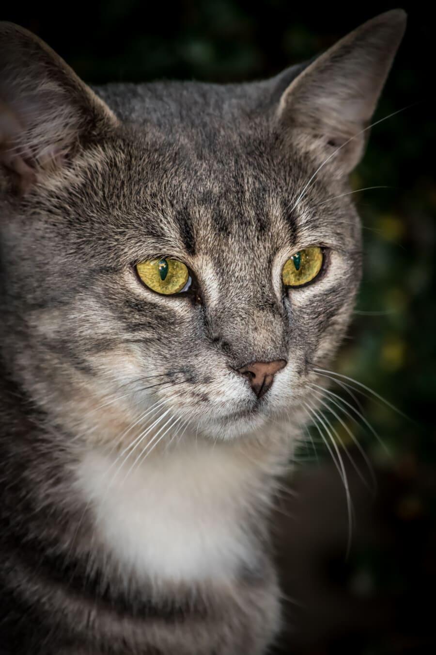 Reifen, gestreifte Katze, Augen, gelblich, Hauskatze, aus nächster Nähe, Haustier, Kopf, Pelz, Tier