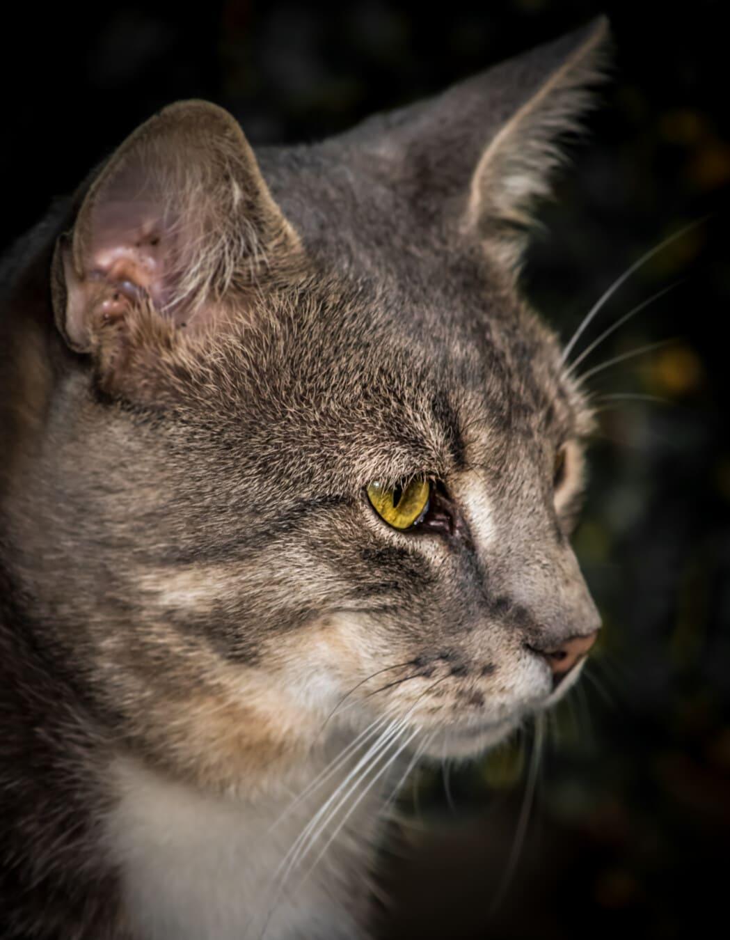 chat rayé, œil, jaune verdâtre, portrait, fermer, vue de côté, tête, chat, chaton, animal