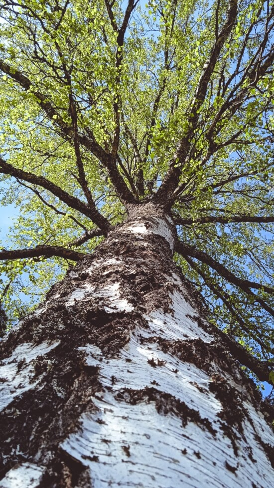 underneath, big, tree, vertical, high, tall, forest, nature, wood, leaf