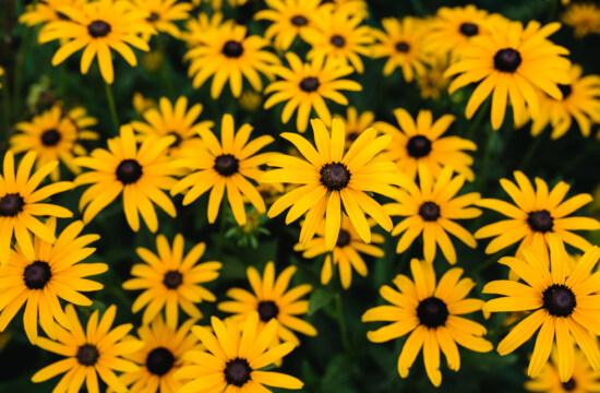 blomster, eng, gullig, mange, helt tæt, plante, blomst, solsikke, gul, sommer