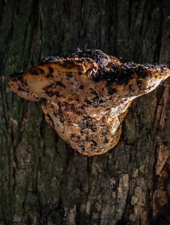 houby, velké, houby, houby, kůra, kůra, strom, organismus, příroda, dřevo