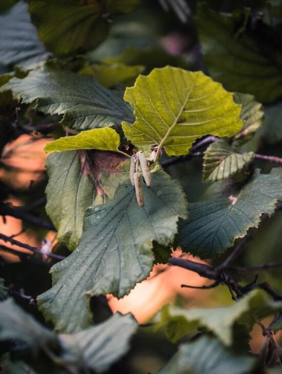 avellana, árbol, ramas, hojas verdes, hoja, naturaleza, al aire libre, agricultura, fruta, madera