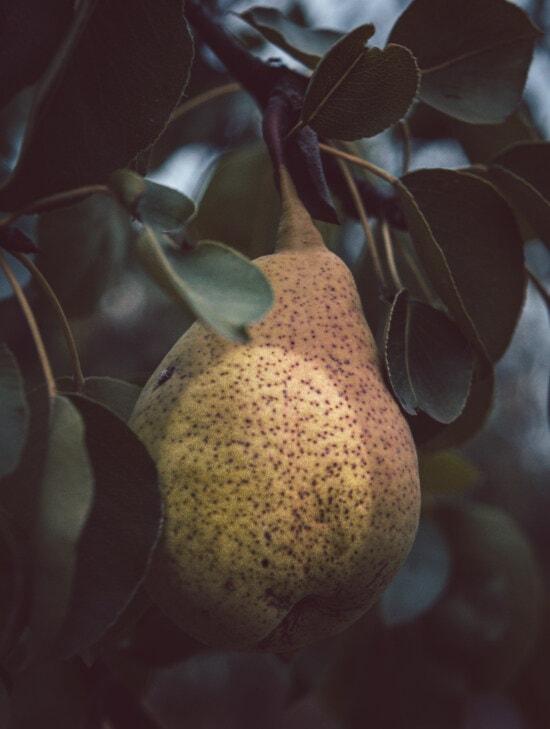 ovocný strom, hruška, ovoce, organický, Výroba, zemědělství, zblízka, pobočky, stín, příroda