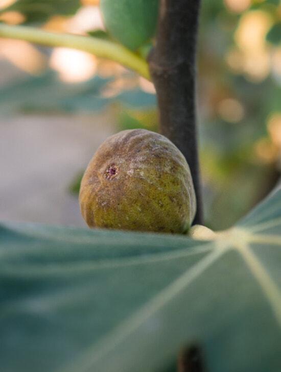 tropical, árbol frutal, higo, contacto directo, fruta, naturaleza, producir, alimentos, difuminar, hoja