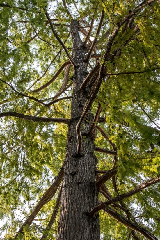conifer, tree, tall, pine, trees, branches, wood, nature, plant, leaf