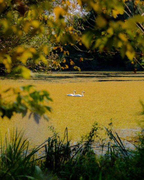 wading bird, wilderness, swamp, wildlife, ecosystem, natural habitat, birds, water, bird, landscape