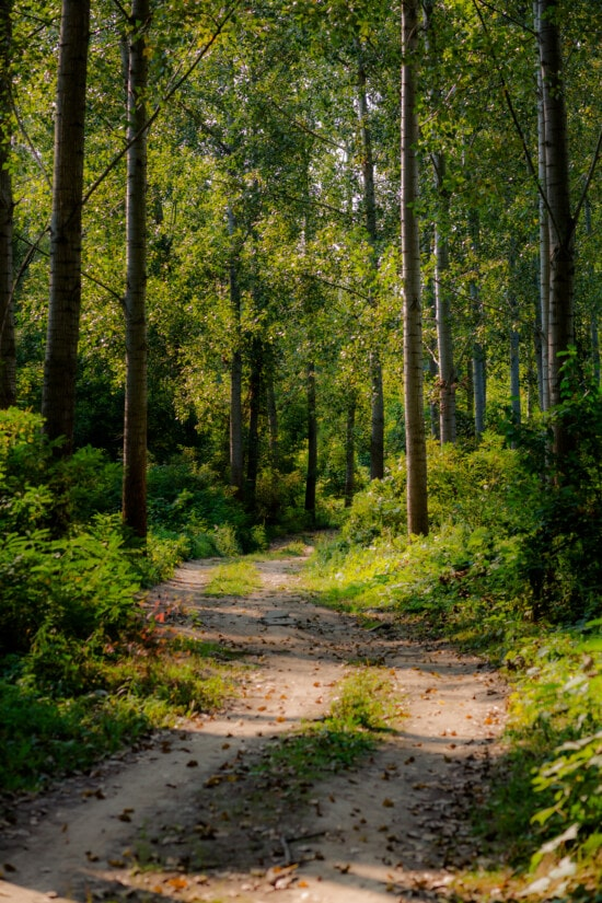 forest road, forest trail, spring time, woodland, poplar, trail, forest, landscape, tree, wood