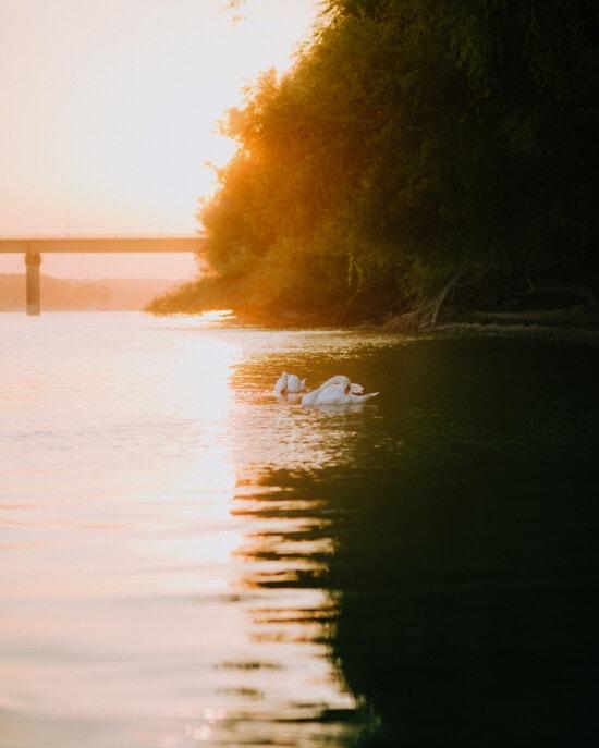 swan, birds, sunset, sunshine, sunrays, water level, horizon, sun, dawn, sunrise