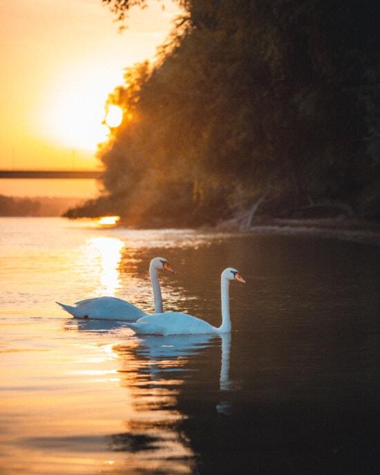 swan, birds, swimming, sunlight, placid, sunset, backlight, dawn, water, bird