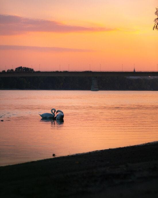 love, swan, sunset, birds, silhouette, twilight, dawn, sun, reflection, water