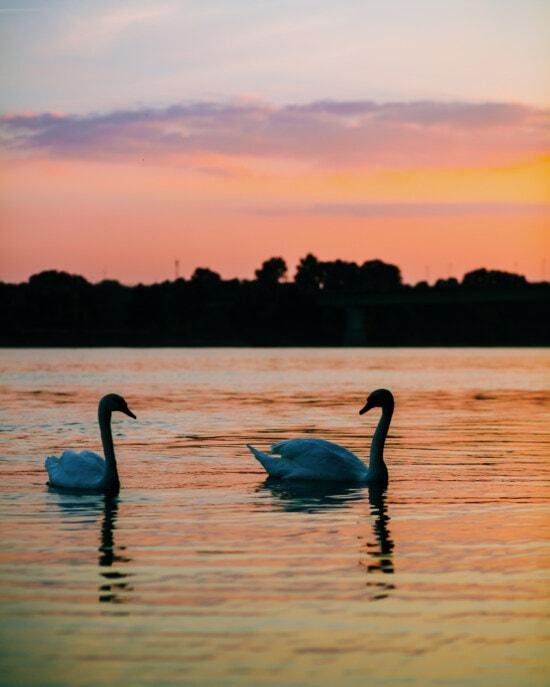 鸟, 天鹅, 日落, 丰富多彩, 黄昏, 浪漫, 平静, 黎明, 反射, 鸟