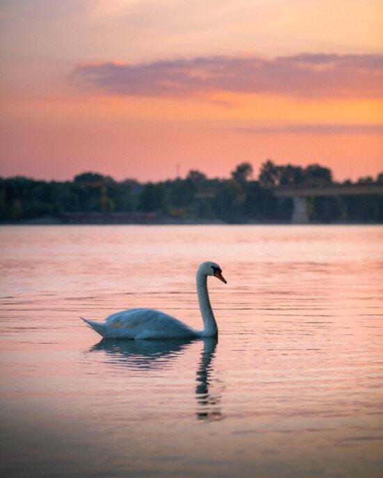 天鹅, 鸟, 景观, 河, 日落, 黄昏, 水, 湖, 黎明, 性质