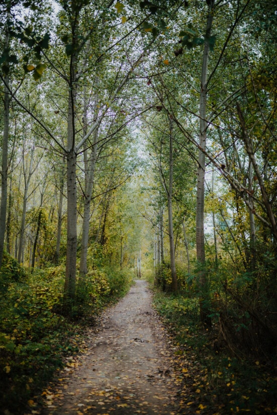 autumn season, forest path, forest trail, branches, poplar, countryside, leaf, wood, landscape, forest