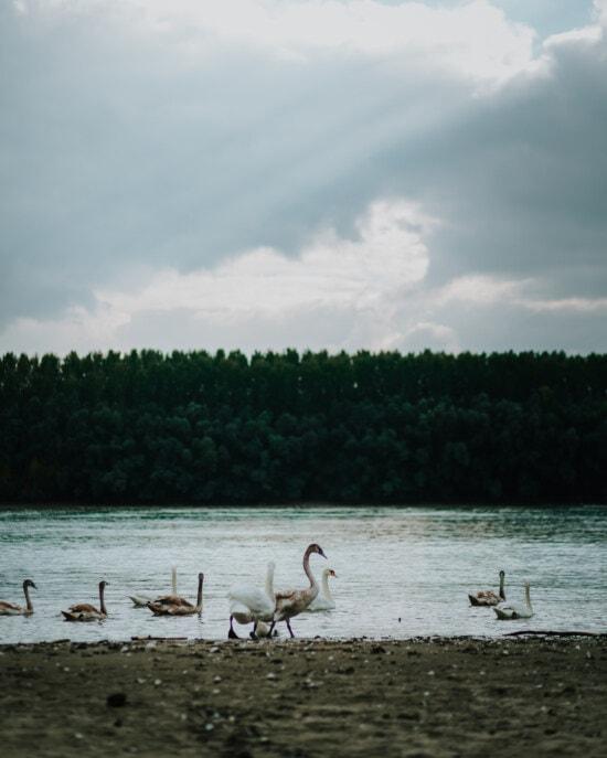 后代, 鸟, 年轻, 羊群, 天鹅, 鸟家庭, 河岸, 黄昏, 水, 水生鸟