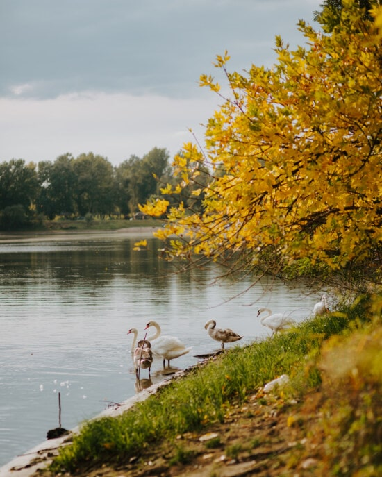 stádo, vtáky, labuť, rodina vtákov, breh rieky, voda, breh, Príroda, rieka, pri jazere