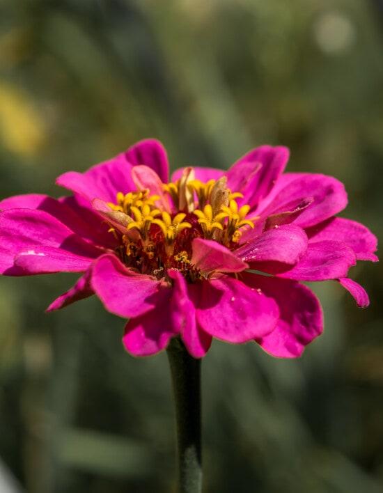 mooie, roze, bloem, dichtbij, stamper, nectar, stuifmeel, natuur, flora, tuin