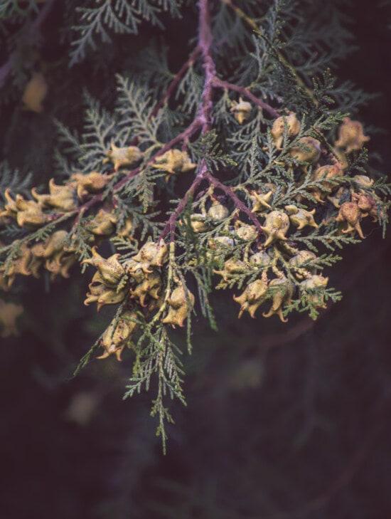 witte spar, coniferen, takje, natuur, boom, plant, blad, altijd groen blijvend, naaldboom, tak