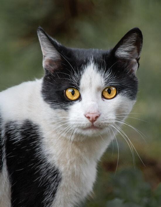 black and white, domestic cat, eyes, orange yellow, portrait, head, feline, cat, fur, kitten