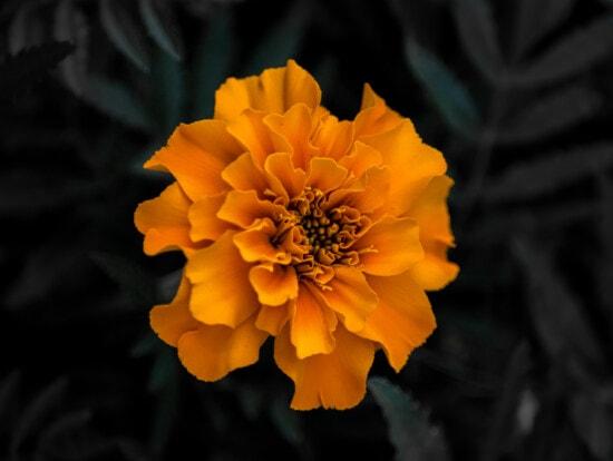 Tagetes helianthodae, oranje geel, mooie bloemen, bloemblad, natuur, kruid, bloeien, bloesem, plant, bloem