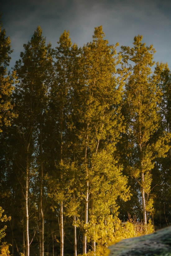 forest, high, trees, poplar, leaf, nature, wood, autumn, tree, outdoors