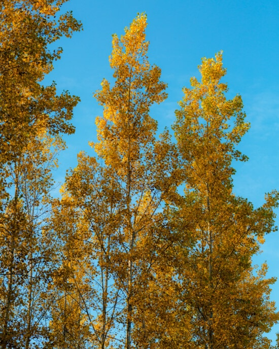 yellow leaves, forest, yellowish brown, yellowish, trees, poplar, outdoors, tree, fair weather, leaf