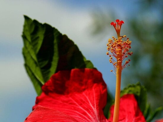 hibiscus, red flower
