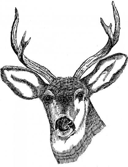 ciervos, cabeza, dibujo, arte