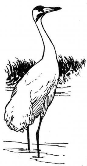 whooping, crane, illustration