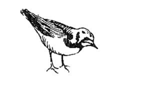 arenaria interpres, ilustración en blanco y negro