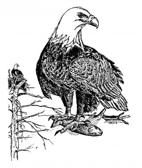 bald, eagle, hand, drawing, haliaeetus leucocephalus