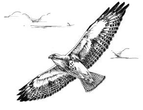 in bianco e nero, linea, arte, disegno, Swainson, falco, uccello, volo