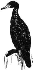 noir et blanc, ligne, art, cormoran, oiseau