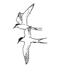 black and white, line, art, two, Arctic, terns