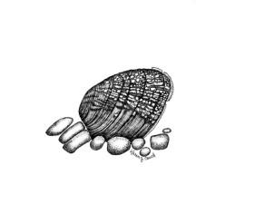 svart-hvitt, linje, illustrasjon, Ornithoptera, perlehvite, blåskjell, lemiox, rimosus