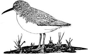 drawing, white, paper, calidris, alpina, dunlin, bird