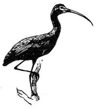 sjajni, ibis, ptica, crta, crtež, crno-bijelo, plegadis falcinellus