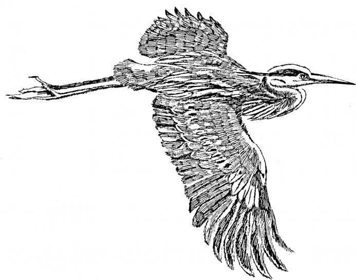 great, blue, heron, flight, line, art, drawing, illustration