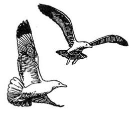 herring gull, line, drawing, art