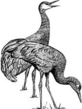 illustration, line, art, black and white, drawing, sandhill, crane