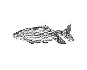 illustration, robust, redhorse, fish, moxostoma, robustum