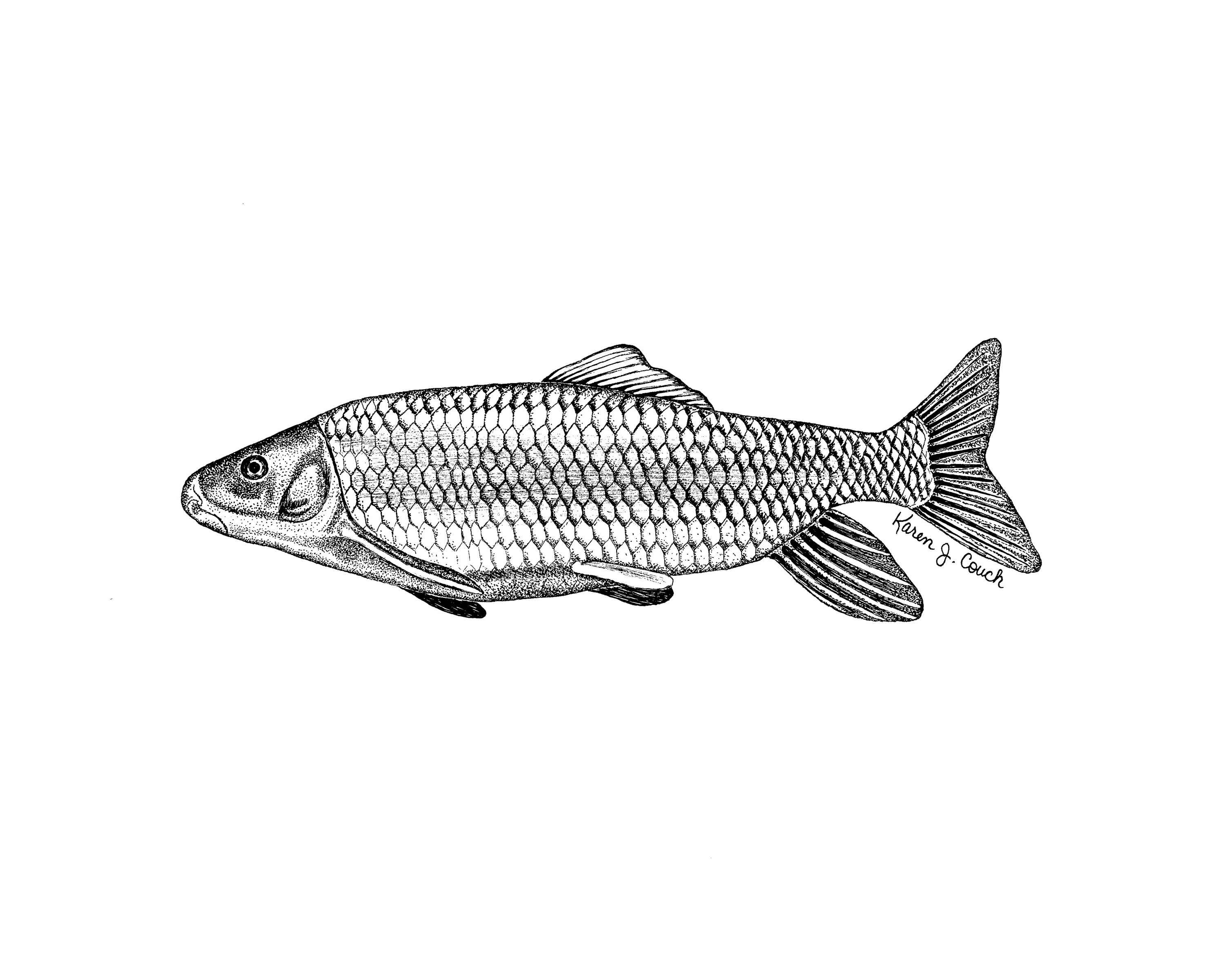 Drowings Imags: Free Picture: Illustration, Robust, Redhorse, Fish