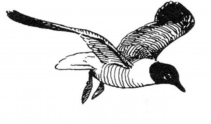 Larus, atricilla, laughting, gabbiano, grafica, disegno