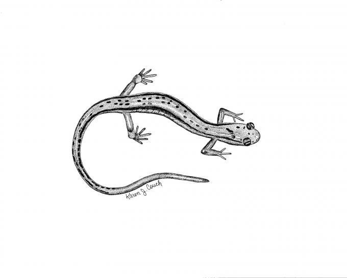 линия, искусство, черный и белый, рисование, два, выстроились, саламандра, eurycea, bislineata