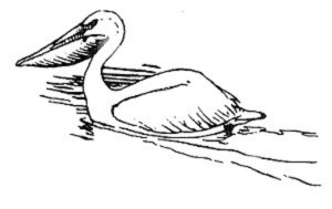 Linie, Kunst, Illustration, schwarz und weiß Pelikan, Vogel