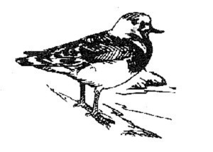 line, art, illustration, black and white, ruddy, turnstone, bird