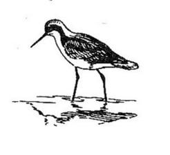 linka, umění, ilustrace, ptáka, úzkozobý, phalaropus tricolor